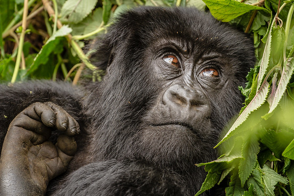 Teenage Gorilla