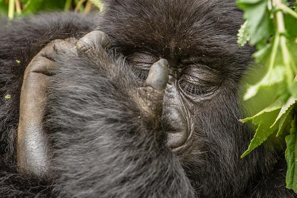 Sleeping teenage Gorilla