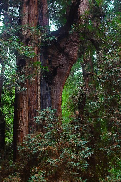 A Misshapen Pine Tree