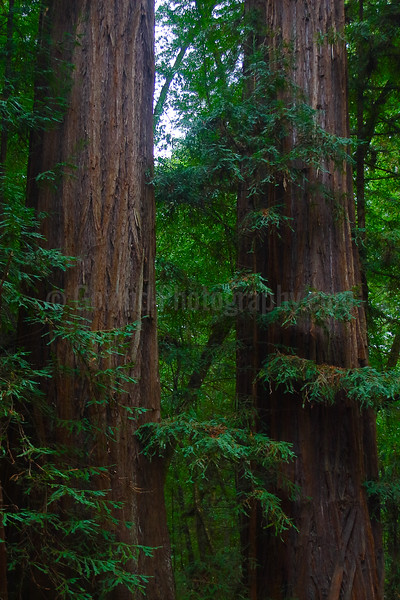 Redwood Pine Tree Pair
