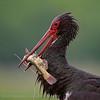 Black stork, feeding