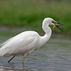 Great White Egret, feeding
