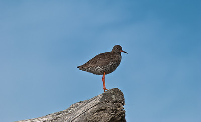 Redshank Watch