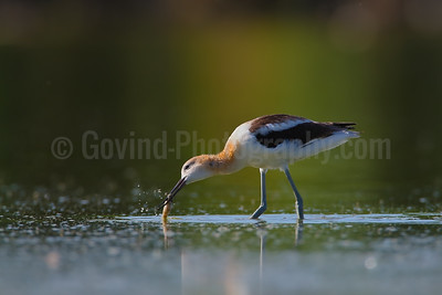 American Avocet with Carp