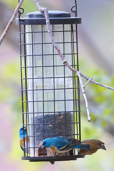 Lazuli Buntings