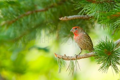 House Finch (M) on Bristlecone Pine