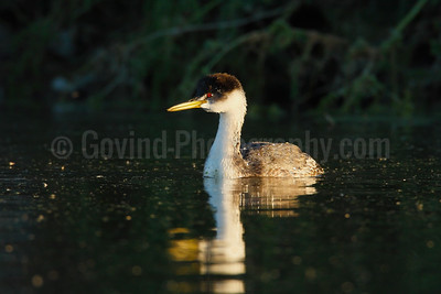 Western Grebe at Sundown