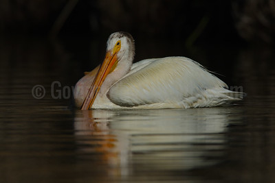American White Pelican with Carp