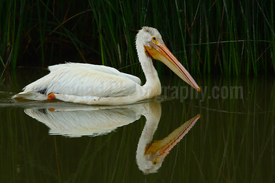 American White Pelican and Reflection