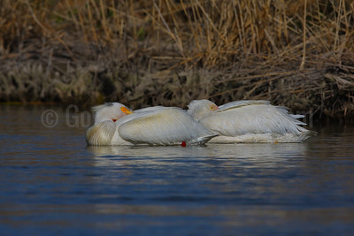 Roosting American White Pelicans