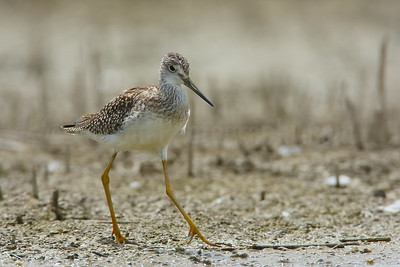 Greater Yellowlegs in Breeding Plumage