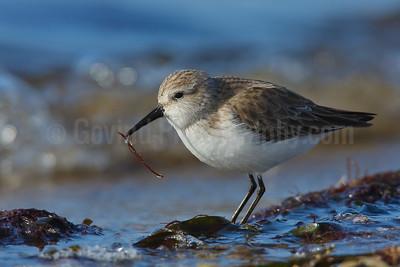 Feeding Western Sandpiper