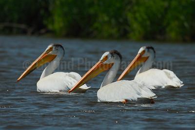 American White Pelican Trio