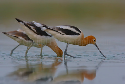 Feeding American Avocets
