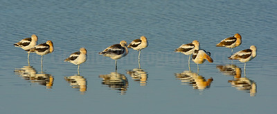 American Avocets Starting to Roost