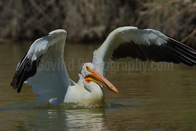 American White Pelican Landing