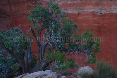 Desert Juniper