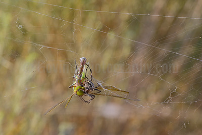Western Spotted Orb Weaver with Green Darner
