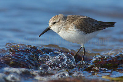 Western Sandpiper at incoming tide