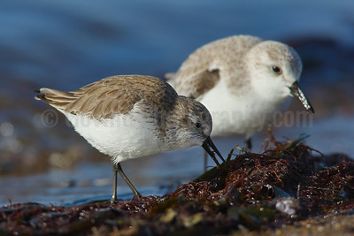 Feeding Western Sandpiper and Sanderling