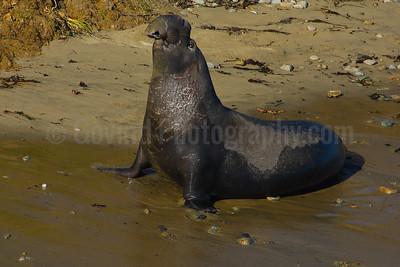 Stretching Bull Elephant Seal