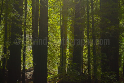 An Old-growth Forest