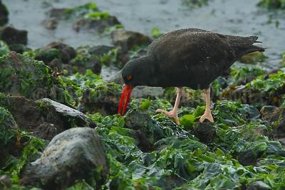 Black oystercatcher foraging in rain