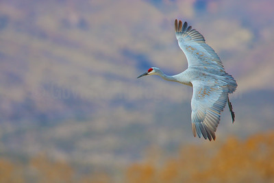 Sandhill Crane Banking to Land