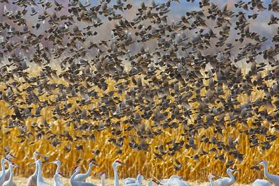 Meadolark Flyover and Wintering Cranes