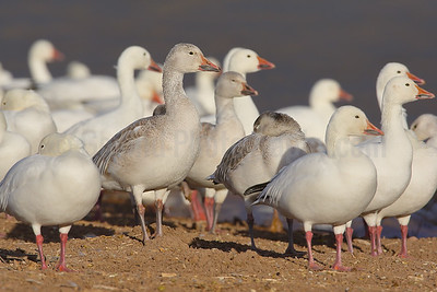 Resting Snowgeese