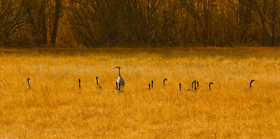 Crane and Canada Geese