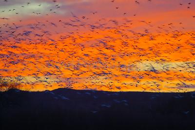 Snowgeese Flight at Sunset