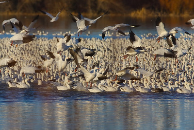 Snowgeese Liftoff