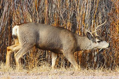 Mule Deer Buck at Rut