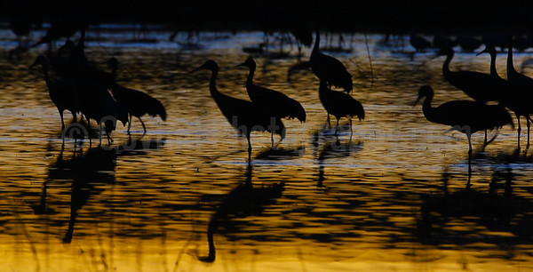 Cranes on Rio Grande at Sunset