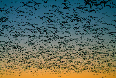 Snowgeese Pre-dawn Flight