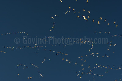 Snowgeese Flocks in Flight