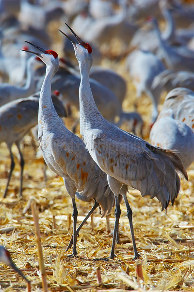 Crooning Crane Pair