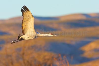 Sandhill Crane Flight Against Chupadera Mountains