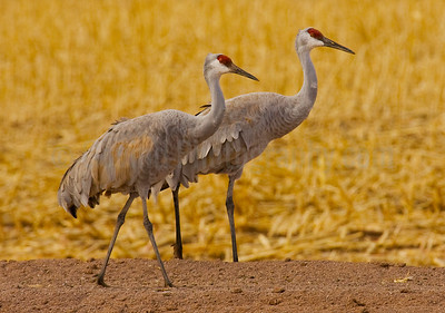Sandhill Crane Pair