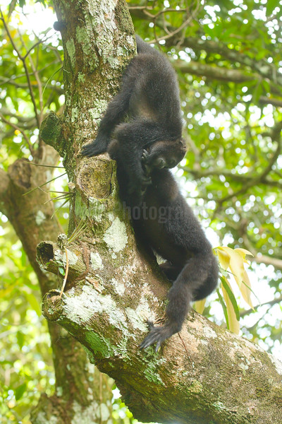 Black howler monkey youngsters at play