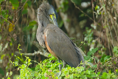Bare-necked Tiger Heron