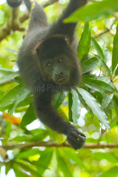 Curious Black Howler Youngster