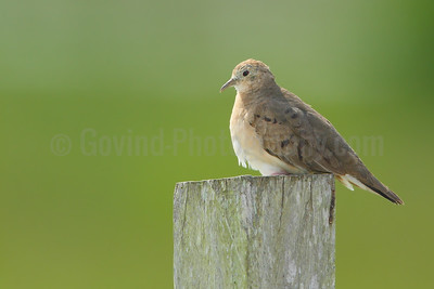 Pale-breasted ground dove