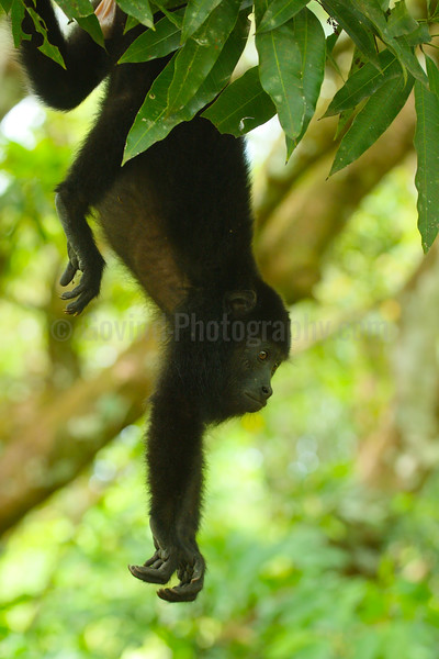 Black Howler Monkey Youngster