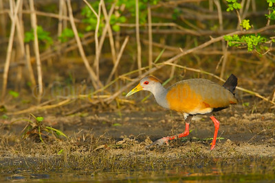 Grey-necked wood rail