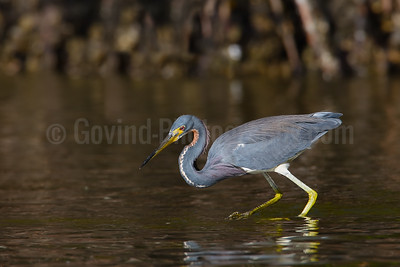 Foraging Tri-colored Heron