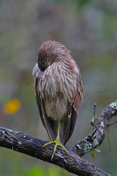 Roosting Black-crowned Night Heron (Juvenile)