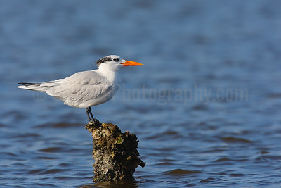Royal Tern in Winter Plumage