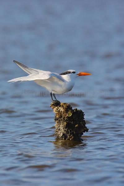 Royal Tern in Winter Plumage